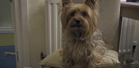Chowsie-gypsy-dog